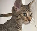 A picture of #ET01356: Nubu a Domestic Medium Hair gray tabby