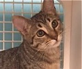 A picture of #ET01357: Nae a Domestic Medium Hair gray tabby