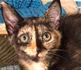 A picture of #ET01363: Topaz a Domestic Short Hair tortico
