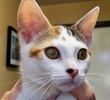 A picture of #ET01367: Chelli a Domestic Short Hair calico
