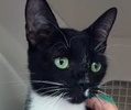 A picture of #ET01371: Arenita a Domestic Short Hair b/w tuxedo