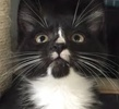 A picture of #ET01374: Android a Domestic Short Hair b/w tuxedo