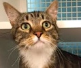 A picture of #ET01378: Tito a Domestic Short Hair brown tabby/white