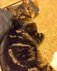 [picture of Tito, a Domestic Short Hair brown tabby/white cat]