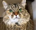 A picture of #ET01379: Lindy Lu a Ragdoll Mix gray tabby
