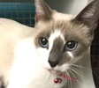 A picture of #ET01381: Leialoha a Siamese snowshoe