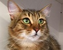 A picture of #ET01382: Lucia a Domestic Long Hair gray