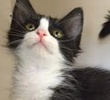 A picture of #ET01387: Jenny Sparks a Domestic Medium Hair black/white