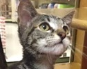 A picture of #ET01391: Inga a Domestic Short Hair swirl/tortie