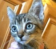 A picture of #ET01395: Clyde a Domestic Short Hair brown tabby