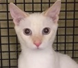 A picture of #ET01398: Tom a Domestic Short Hair silver/white