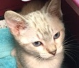 A picture of #ET01408: Frena a Siamese lynx point