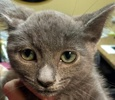 A picture of #ET01413: Becca a Domestic Short Hair blue