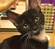 A picture of #ET01416: Carmen a Domestic Short Hair black/white tuxedo