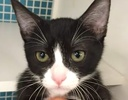 A picture of #ET01417: Leticia a Domestic Short Hair black/white tuxedo