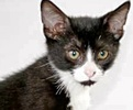 A picture of #ET01419: Fernando a Domestic Short Hair black/white tuxedo