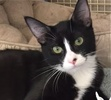 A picture of #ET01420: Motti a Domestic Short Hair black/white tuxedo
