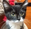 A picture of #ET01421: Lupe a Domestic Short Hair black/white tuxedo