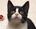 A picture of #ET01422: America a Domestic Medium Hair black/white tuxedo