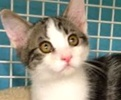 A picture of #ET01427: Akio a Domestic Short Hair black swirl tabby/whte
