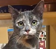 A picture of #ET01430: Genie a Domestic Short Hair dilute tortie