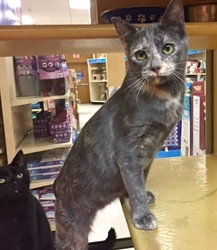 [picture of Genie, a Domestic Short Hair dilute tortie cat]