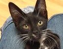 A picture of #ET01431: Giuseppe a Domestic Short Hair b/w tuxedo