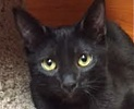 A picture of #ET01433: Giovanni a Domestic Short Hair black