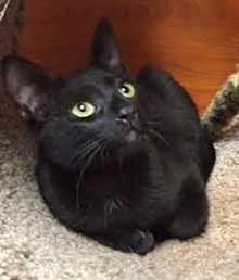 [another picture of Giovanni, a Domestic Short Hair black\ cat]