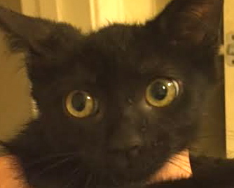 [picture of Giovanni, a Domestic Short Hair black cat]