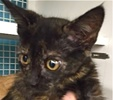 A picture of #ET01436: Dolly a Domestic Short Hair tortie