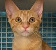 A picture of #ET01437: Keith a Domestic Short Hair orange