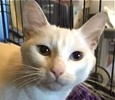 A picture of #ET01439: Samantha a Domestic Short Hair white