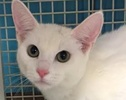 A picture of #ET01440: Tundra a Domestic Short Hair white/black spot