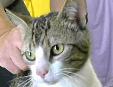 A picture of #ET01443: Axel a Domestic Short Hair brown tiger/white