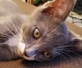 A picture of #ET01448: Butters a Domestic Short Hair blue/white