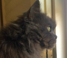 A picture of #ET01449: Misty a Persian blue long hair