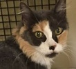 A picture of #ET01451: Ginabell a Domestic Long Hair dilute calico