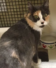 [another picture of Ginabell, a Domestic Long Hair dilute calico\ cat]