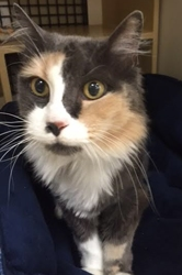 [picture of Ginabell, a Domestic Long Hair dilute calico cat]