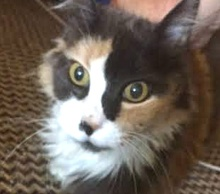 [picture of Ginabell, a Domestic Long Hair dilute calico\ cat]