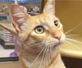 A picture of #ET01452: Charmeleon a Domestic Short Hair orange tabbby