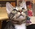 A picture of #ET01453: Boggie a Domestic Short Hair gray tabby