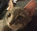 A picture of #ET01454: Filmore a Domestic Short Hair silver tabby