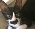 A picture of #ET01455: Nala a Domestic Short Hair black/white