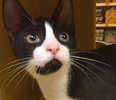 A picture of #ET01456: Figaro a Domestic Short Hair black/white tuxedo