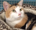 A picture of #ET01459: Sunshine a Domestic Short Hair calico