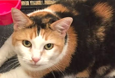 [picture of Sunshine, a Domestic Short Hair calico cat]