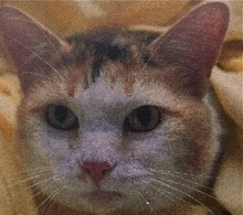 [picture of Sunshine, a Domestic Short Hair calico\ cat]