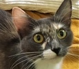 A picture of #ET01460: Sadie a Domestic Long Hair dilute calico